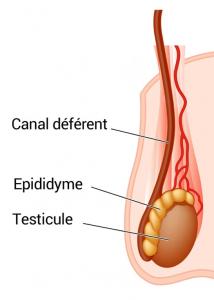 biopsie testiculaire Turquie